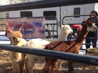 fi-2013-scotia-acries-alpacas